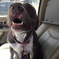American Staffordshire Terrier Mix Dog for adoption in Whitestone, New York - Angel