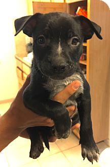 Labrador Retriever Mix Puppy for adoption in Fort Collins, Colorado - Usain Bolt (DENVER)