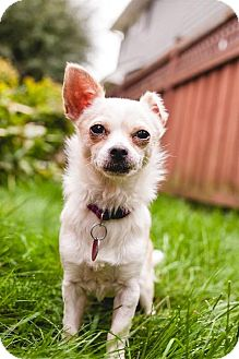 Chihuahua Dog for adoption in Rochester, Minnesota - ChiChi