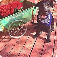 Labrador Retriever Mix Puppy for adoption in Jackson, Idaho - Max