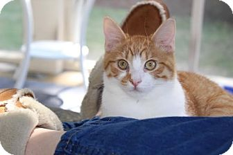 Domestic Shorthair Kitten for adoption in Nashville, Tennessee - Benji