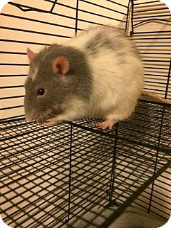 Rat for adoption in Ann Arbor, Michigan - Steve Rodgers