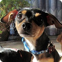 Chihuahua Mix Dog for adoption in Grafton, Wisconsin - Ladybug