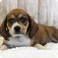 Adopt A Pet :: Brett - Waldorf, MD