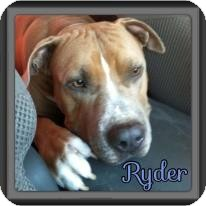 American Pit Bull Terrier/Mastiff Mix Dog for adoption in Spring, Texas - Ryder