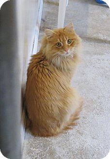 Domestic Longhair Cat for adoption in Geneseo, Illinois - Aztec