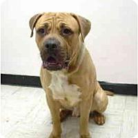 Adopt A Pet :: Storm - Port Washington, NY