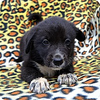 Adopt A Pet :: Babylon - Garland, TX