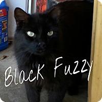 Domestic Mediumhair Cat for adoption in Salisbury, North Carolina - Black Fuzzy