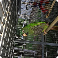 Adopt A Pet :: Drama Queen - Punta Gorda, FL