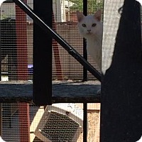 Domestic Shorthair Cat for adoption in Tucson, Arizona - Rollie