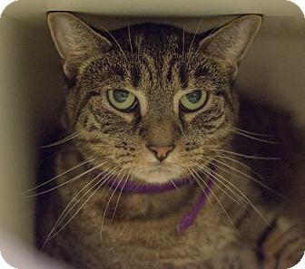 Domestic Shorthair Cat for adoption in New York, New York - Tati