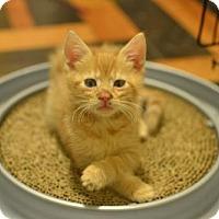 Adopt A Pet :: .Tornado - Baltimore, MD