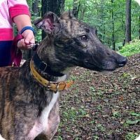 Adopt A Pet :: Duped Again - Gerrardstown, WV