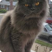 Domestic Longhair Cat for adoption in Philadelphia, Pennsylvania - Lemmy