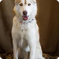 Adopt A Pet :: Aussie - Phelan, CA