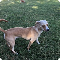 Dachshund/Chihuahua Mix Dog for adoption in Ardmore, Oklahoma - Sassy