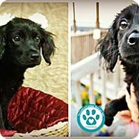 Adopt A Pet :: Curly Sue - Kimberton, PA