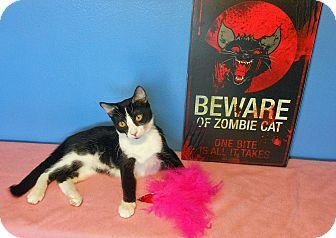 American Shorthair Kitten for adoption in Glendale, Arizona - Jasmine