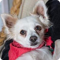 Papillon Dog for adoption in Seattle, Washington - Nala Bell