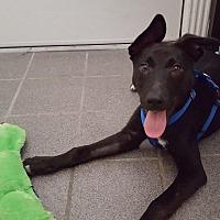 German Shepherd Dog/Labrador Retriever Mix Puppy for adoption in San Antonio, Texas - Xander