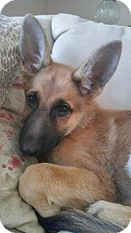 German Shepherd Dog Dog for adoption in Woodinville, Washington - Savannah / ADOPTION PENDING