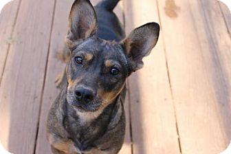 Corgi/Bull Terrier Mix Dog for adoption in Parker Ford, Pennsylvania - Salina
