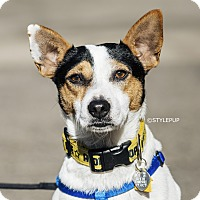 Adopt A Pet :: Rascal - New York, NY