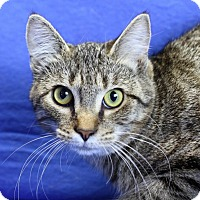 Domestic Shorthair Cat for adoption in Winston-Salem, North Carolina - Maxine