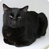 Domestic Shorthair Cat for adoption in Council Bluffs, Iowa - Denzel