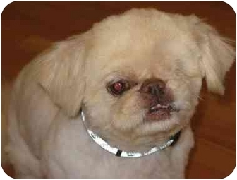 Pekingese Dog for adoption in Edmeston, New York - Petey-NY