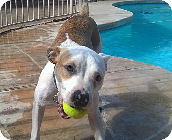 American Staffordshire Terrier/Bulldog Mix Dog for adoption in Scottsdale, Arizona - Gad