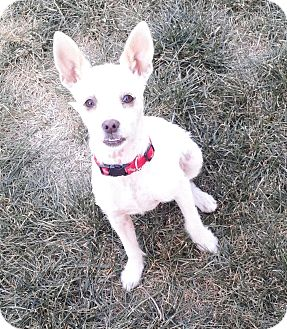 Jack Russell Terrier Mix Dog for adoption in Westley, California - Bud