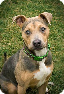 Gemma | Adopted Dog | Kennewick, WA | Pit Bull Terrier ...