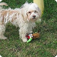 Adopt A Pet :: Bianca - Tumwater, WA