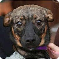 Adopt A Pet :: Precious-Pending - kennebunkport, ME