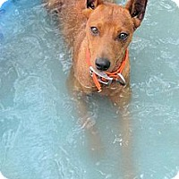 Adopt A Pet :: *Hansel - PENDING - Westport, CT