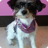 Adopt A Pet :: Demi-Adoption pending - Bridgeton, MO