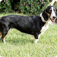 Adopt A Pet :: Gretchen - Norwalk, CT