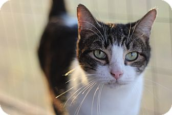 Domestic Shorthair Cat for adoption in Seguin, Texas - candy