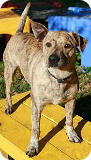 Terrier (Unknown Type, Medium)/Cattle Dog Mix Dog for adoption in Tomball, Texas - Tigger