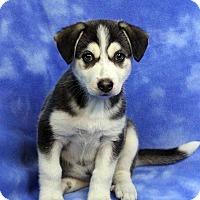Adopt A Pet :: FELICIA - Westminster, CO