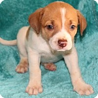 Adopt A Pet :: Carly - Chester Springs, PA