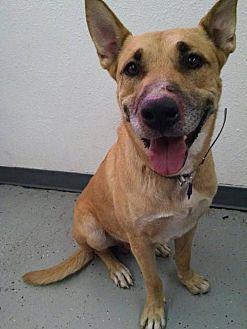 Carolina Dog/German Shepherd Dog Mix Dog for adoption in Phoenix, Arizona - Brody