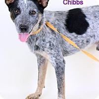 Adopt A Pet :: Chibbs - Needs Foster - Bloomington, MN