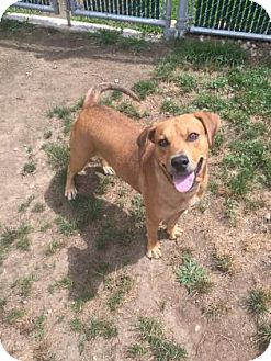Hound (Unknown Type) Mix Dog for adoption in Peace Dale, Rhode Island - Cupid
