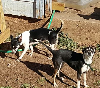 Rat Terrier Dog for adoption in Pflugerville, Texas - Ashley and Emily