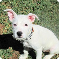 Terrier (Unknown Type, Medium) Mix Puppy for adoption in Sidney, Maine - Blanca