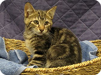Domestic Shorthair Kitten for adoption in Redwood Falls, Minnesota - Blake