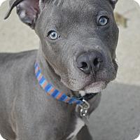 Pit Bull Terrier Mix Puppy for adoption in Toledo, Ohio - Sinatra